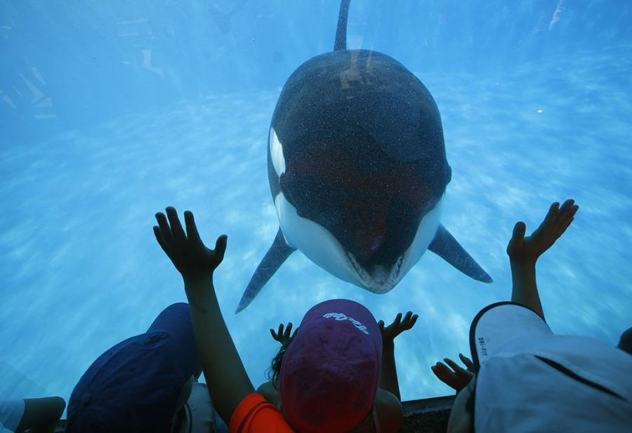 Orca+whale+in+captivity.+