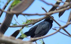 Santaluces' Little Terrors: Grackles