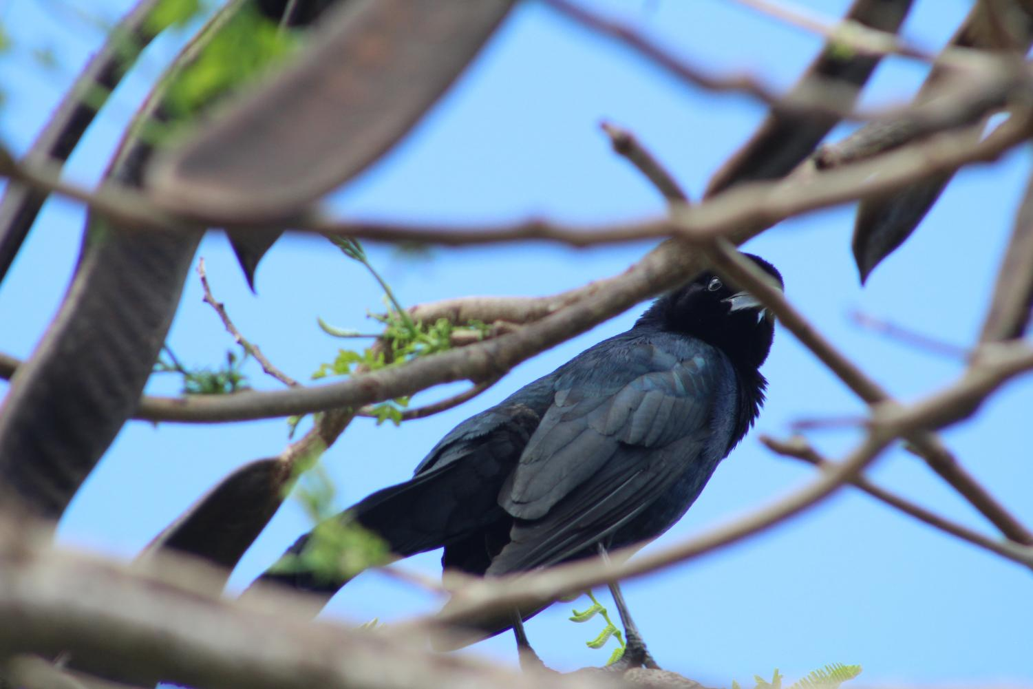 Grackles seen all over Santaluces' campus